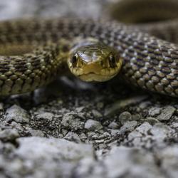 Garter Snake coiled up