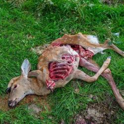 Dead Fawn from a Coyote attack