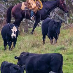 Cowboy Highland County VA