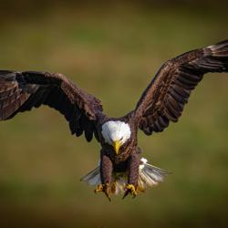 Highland County VA Eagle