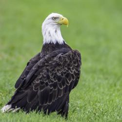 Bald Eagle Highland County VA