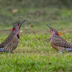 Flicker Woodpeckers