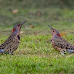 Flicker Woodpeckers