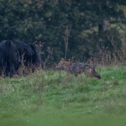 Highland County Coyote