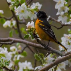 Baltimore Oriole in Apple Blossoms