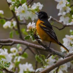 Baltimore Oriole in Apple Blossoms