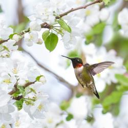 Ruby Throat Humming Bird in Apple Blossoms