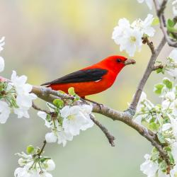 Scarlet Tanager in Apple Blossoms