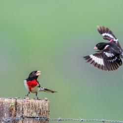 Male Rose-Breasted Grosbeak Fighting