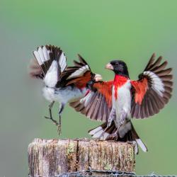 Male Rose-Breasted Grosbeak Fighting