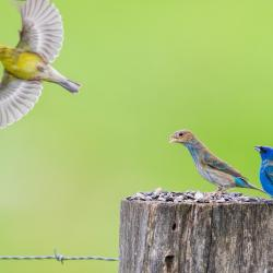 Male Indigo Bunting & Goldfinch