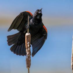 Singing Red-Winged Blackbird on cattails