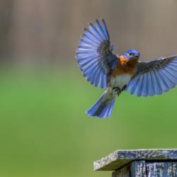 Eastern Bluebird Flying into Bluebird Box