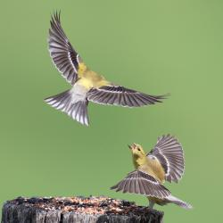 Goldfinches Fighting Flying