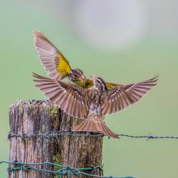 Female Rose-Breasted Grosbeak Fighting