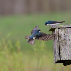 Tree Swallows fighting over Bluebird Box