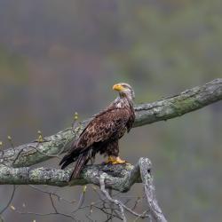 Immature Bald Eagle around 3 Years Old