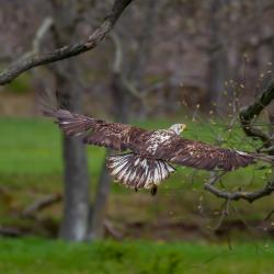 Immature Bald Eagle around 3 Years Old
