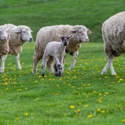 Fair Lawn Farm Lambs