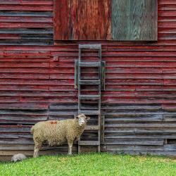 Lambs in Monterey VA