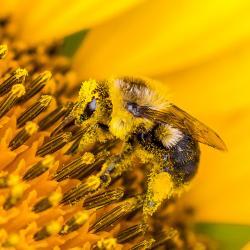 Sunflower Pollen on Bee