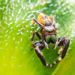 Jumping Spider on Sunflower