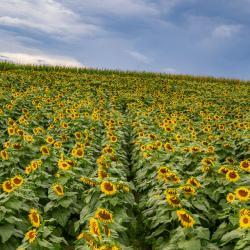 Beaver Dam Farm Sunflower Festival