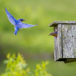 Blue Bird Flying into box Monterey VA