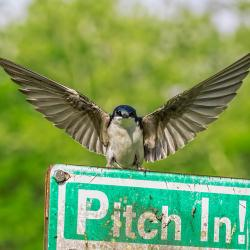 Tree Swallow--I am Batman pose