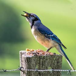 Blue Jay eating suet