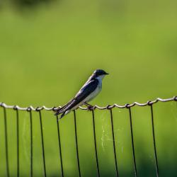 Tree Swallow on fence