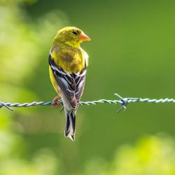 Male Goldfinch on wire fence