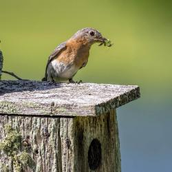 Female Bluebird with Grasshopper