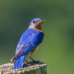 Bluebird with Centipede