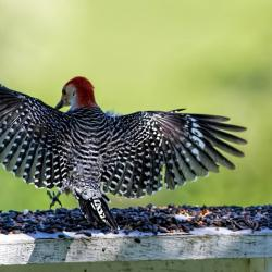 Red-bellied Woodpecker full wing spread