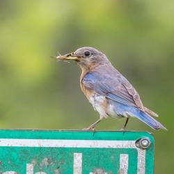 Female Bluebird grasshopper in mouth
