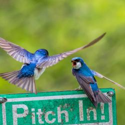 Tree Swallows arguing about nesting box