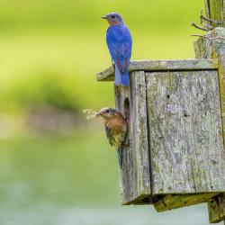 Bluebird pair feeding babies in box