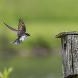 Tree Swallow messing with bluebird babies in box