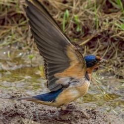 Barn swallow getting nesting materials