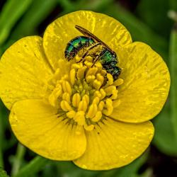 Sweat Bee in yellow flower