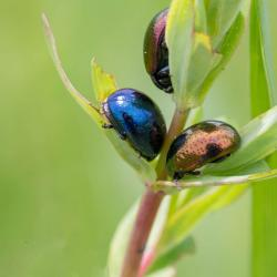 Blue mint beetles