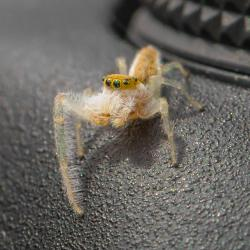 Hentzia Mitrata Jumping Spider on my 7D Mark ll