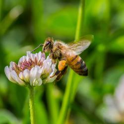 Honey Bee on Clover Flower