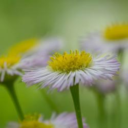 Daisy Fleabane Purple