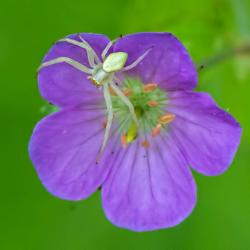 White Crab Spider on wild geranium