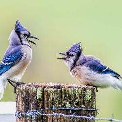 Blue Jays fighting