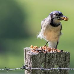 Blue Jay stuffing his face