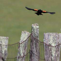 Red Winged Blackbird Flying