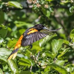 Baltimore Oriole Flying